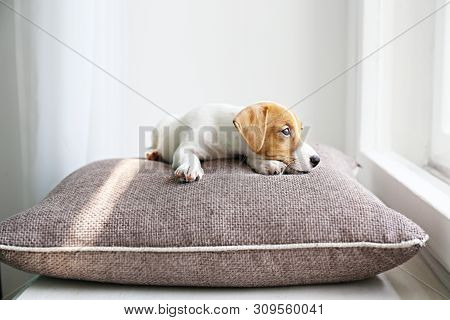 Cute Two Months Old Jack Russel Terrier Puppy With Folded Ears Lying On A Windowsill. Small Adorable