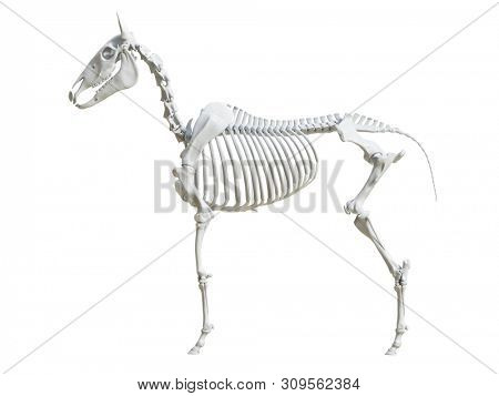 3d rendered medically accurate illustration of the equine skeleton -