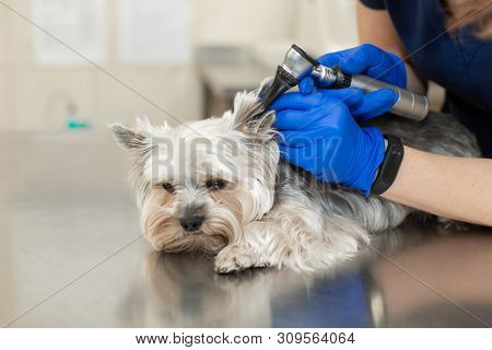 Veterinarian Exam A Dog Breed Yorkshire Terrier Using Otoscope In Pet Hospital.