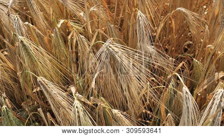 Agrarian Farmer Holds A Spikelet Of Golden Color Of Ripe, Organic Natural Winter Wheat Processed Int