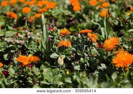 English Marigolds Blooming In A Garden In Golden Gate Park, San Francisco, California