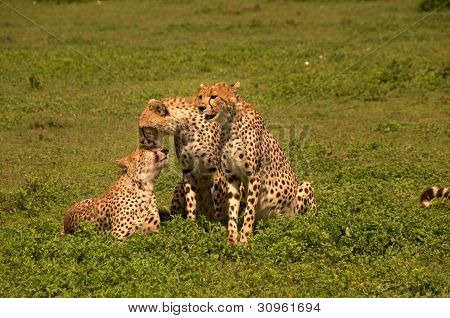 Family of wild cheetahs showing affection for each other
