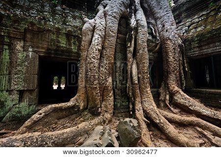 Tree Roots Envelop Ta Prohm Temple Angkor