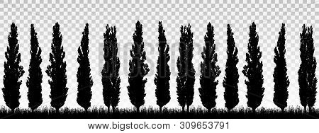 Realistic Illustration Of A Windbreak From A Row Of Poplar Trees With Grass And Space For Text. Isol