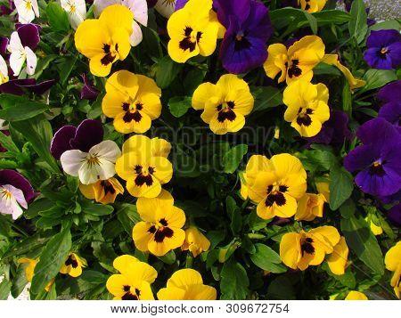 Pansy, Botany Name Viola Wittrockiana, Family Violaceae