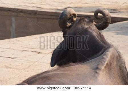 Resting Sacred Cow On The Embankment Of Varanasi, India