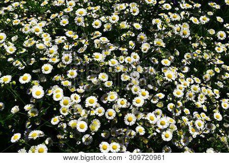 Flowering of daisies. Oxeye daisy, Leucanthemum vulgare, Daisies, Dox-eye, Moon daisy,Common daisy,