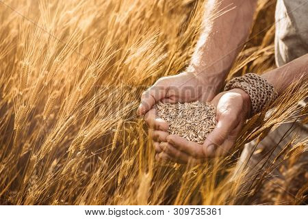 Close Up Of Farmer's Hands Holding Organic Einkorn Wheat Seed On The Field At The Sunset