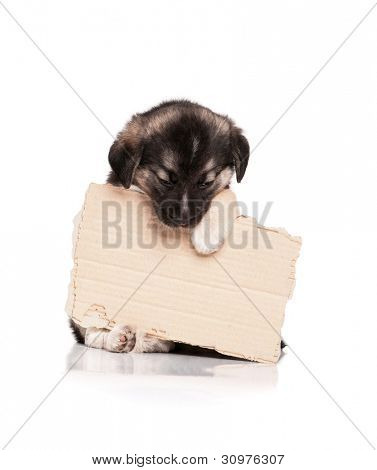 Cute puppy of 1,5 months old with a cardboard on a white background poster