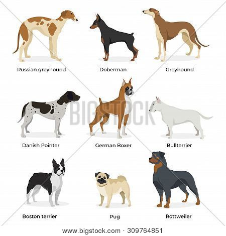 Dog Breeds Vector Collection Isolated On White Background. Russian Greyhound. Doberman. Greyhound. D