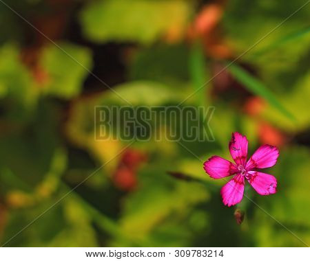 Natural Background With Pink Dianthus Deltoides Or Maiden Pink Flower. Defocused Floral Background W