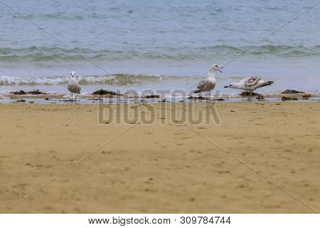 Disclaimer Of 3 Seagulls (laridae) Ina European Beach