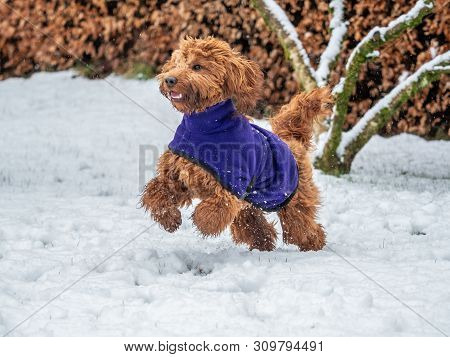 Cockapoo Playing In The Snow
