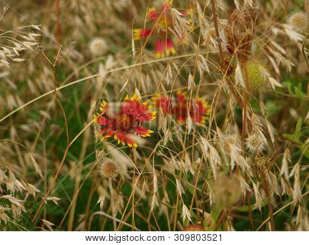 Firewheel Wildflowers Grow And Bloom In A Meadow Of Prairie Grasses And Many Other Wildflowers. The