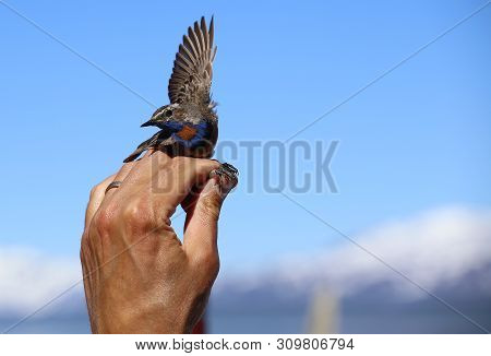 Luscinia Svecica, The Red-spotted Bluethroat, Held In Hand