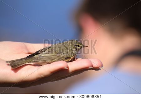 Phylloscopus Trochilus, The Willow Warbler, Sitting In Hand