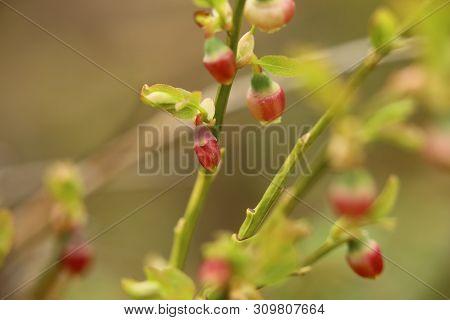 Flower Buds Of Vaccinium Myrtillus, The European Blueberry