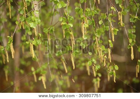 Curtain Of Leaves And Catkins Of Betula Pendula, The European White Birch
