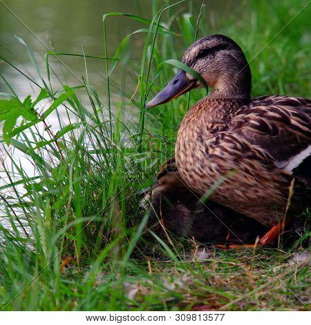 Mallard Duckling, Early July 2019, Aylesbury Canal, England : The Last Surviving Mallard Duckling Re