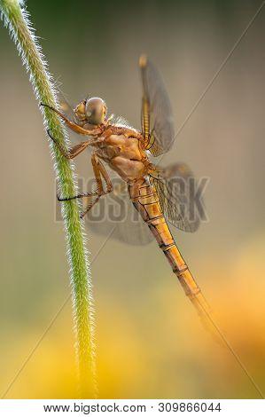 Beautiful Nature Scene With Keeled Skimmer (orthetrum Coerulescens). Macro Shot Of Keeled Skimmer (o
