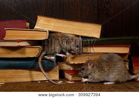 Close-up Two Rat (rattus Norvegicus) Sits Near Old Books On The Flooring In The Library. Concept Of