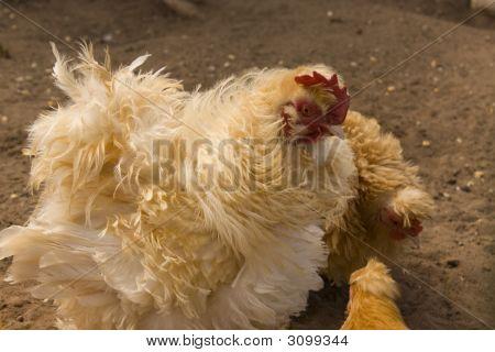 Frazzled Chicken