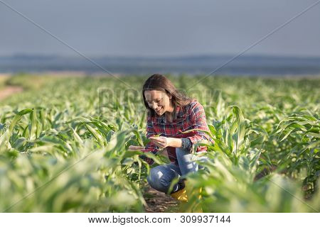 Pretty Young Farmer Woman Squatting In Corn Field In Early Summer And Checking Quality Of Leaves