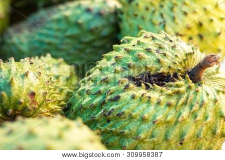 Graviola In The Market. Brazilian Tropical Fruit. Very Sweet White Pulp Fruit. Exotic Tropical Fruit