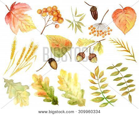 Bright Colors Set Of Watercolor Autumn Leaves. Wild Grapes, Elm, Linden, Rowan, Pear Isolated On Whi