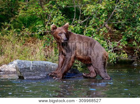 Alaskan Brown Bear Standing On A Rock In The Water