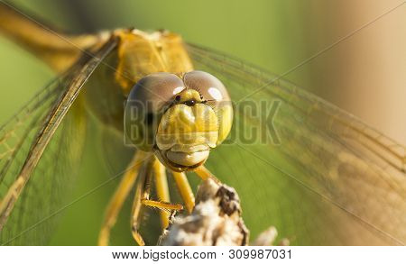Nature Background Dragonfly. Dragonfly Insect In Nature. Nature Insect Dragonfly On Red Plant. Drago