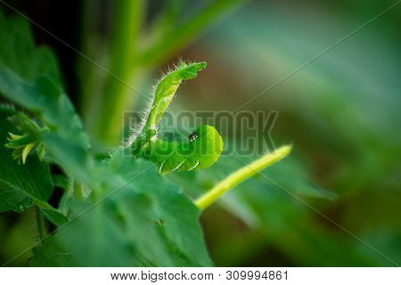 A sneaky Tobacco Hornworm hides, camoflauged in a young tomato plant.  The worm is eating the leaves and brances of the vulnerable plant. poster