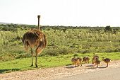 African ostrich with little chickens on safari road in national park of South Africa poster