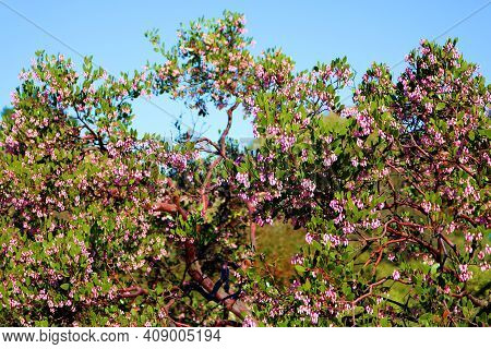 Manzanita Plant Flower Blossoms During Spring Taken At A Drought Tolerant Garden In A Residential Ya
