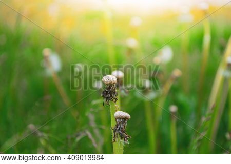Bald Dandelion Head In The Middle Of A Meadow Against A Sunset Background