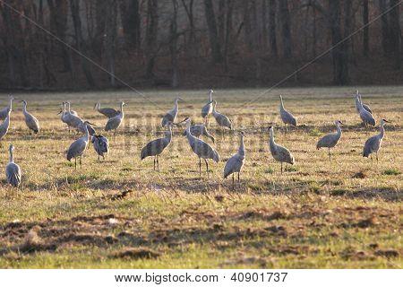 Sandhill Cranes at the Jasper-Pulaski Crane Reserve in Indiana