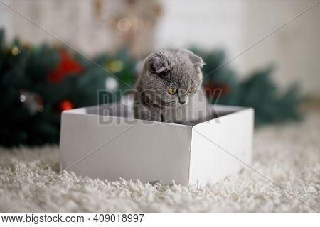 Grey Fluffy Kitten Scottish Fold Sits In White Box On A Fluffy Beige Carpet Near  A New Year's Artif