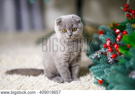 Grey Fluffy Kitten Scottish Fold With Yelllow Eyes Sits On A Fluffy Beige Carpet Near  With A New Ye