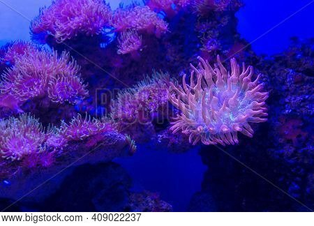 Colony Of Rose Bubble Tip Anemone (entacmaea Quadricolor) With One Of Them Close Up