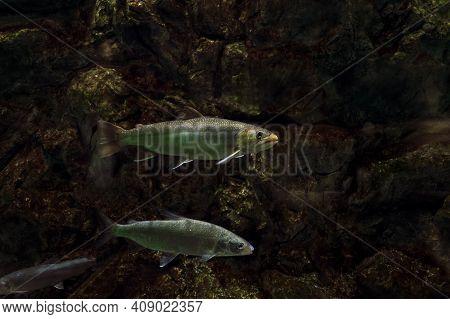 View Of Swimming Amur Whitefish And Taimen