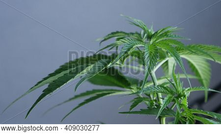 Marijuana Sativa In The Growing Season In A Close-up On The Background Of The Gray Wall Of The Room,