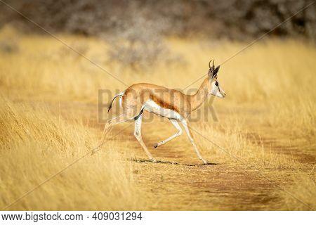 Springbok Runs Across Grassy Track In Sunshine