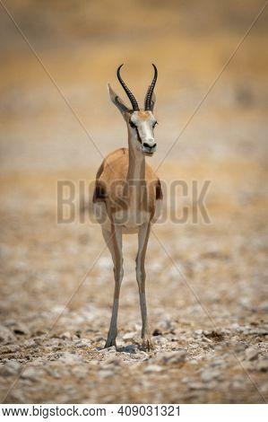Springbok Stands Facing Camera On Salt Pan