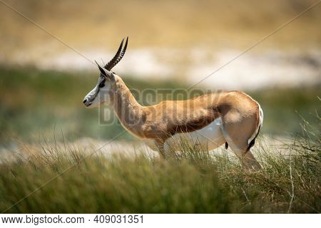 Springbok Stands In Long Grass In Profile