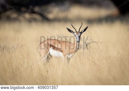 Springbok Stands In Long Grass Watching Camera