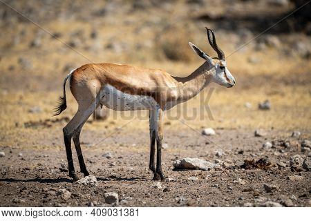 Springbok Stands In Profile On Stony Ground
