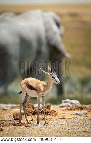 Springbok Stands Near Elephant At Rocky Waterhole