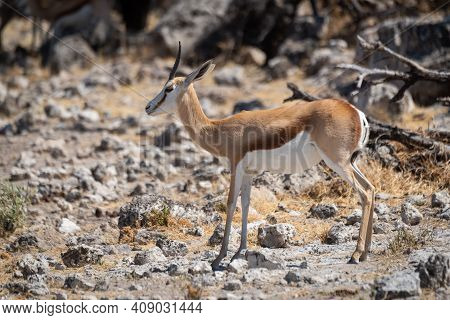 Springbok Stands On Rocky Ground In Profile