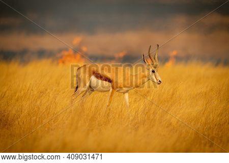Springbok Walking Through Grass With Fire Behind