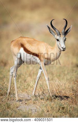 Springbok Walks Across Short Grass In Sun